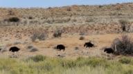 Ostrich Struthio camelus, in Etosha, Namibia video
