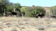 Ostrich Struthio camelus, in Kgalagadi, South Africa video