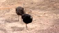 Ostrich video