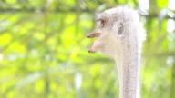 ostriches head video
