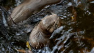 otter eat small fish video