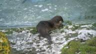 Otter eating prey on frozen river side video