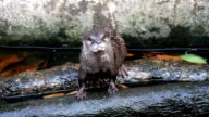 otter in the pond video