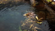 Otter playing in a natural pool video