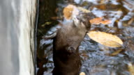 otter receive food from zookeeper video