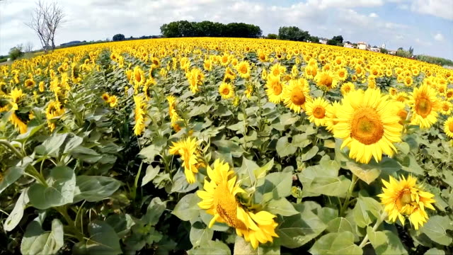 Over a sunflower field video