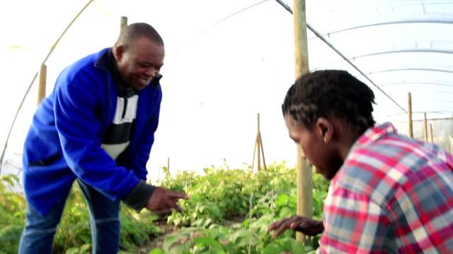 Over shoulder African men checking crop of beans video