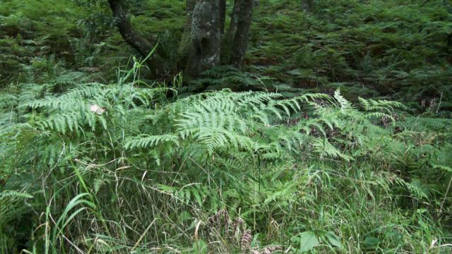 Overgrown Scottish woodland in autumn video