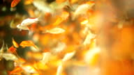 Overpopulated Gold fish video