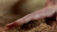 Overworked farmer's hand touching the wheat grain, product quality, agriculture video