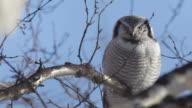 Owl. A close up. video