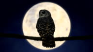 Owl at Night with Full Moon (HD) video
