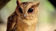 Owl bird close-up video
