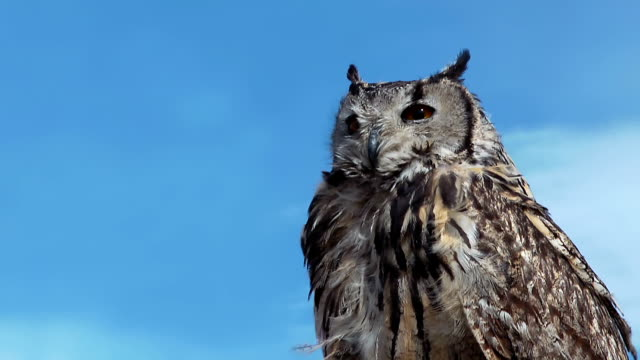 Owl Bubo Bengalensis is turning head. video
