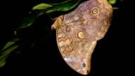 Owl butterfly (Catoblepia soranus.) video