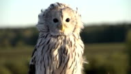 owl closeup in slowmotion video