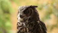 Owl HD video