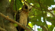 Owl (Spotted owlet) in nature video