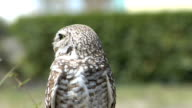 Owl looks at camera video