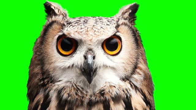 Owl on chromakey screen video