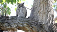owl perched in tree video