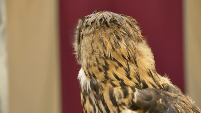 Owl Rotates and Look video