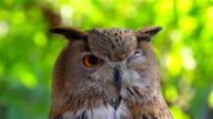 Owl Sleep video