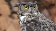 Owl. video