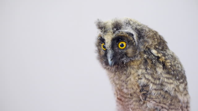 owlet on a gray background video