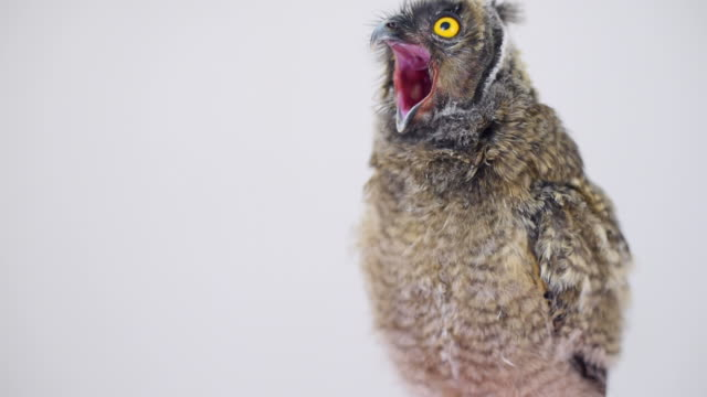 owlet yawns on a gray background video