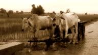 Ox standing near Cart video