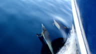 Pacific Common Dolphins Bow Riding video