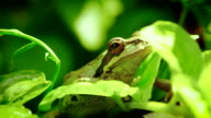 Pacific Tree Frog breathing video