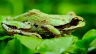 A Pacific Tree Frog jumping video