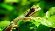 Pacific Tree frog sitting on branch video
