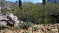 Pacing Coyote, anis latrans in the Sonoran Desert video