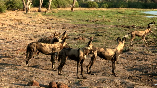 A pack of wild dogs watching out for prey in the Okavango Delta video