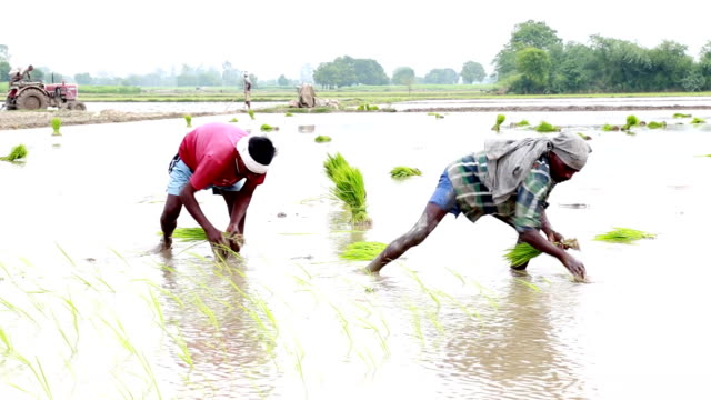 Paddy Crop Plantation video