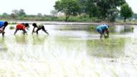 Paddy Crop Plantation video