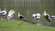 Painted Stork (Mycteria leucocephala) at Rain video