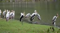 Painted Stork video