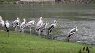 Painted Stork (Mycteria leucocephala). video