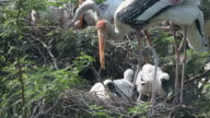 Painted Storks video