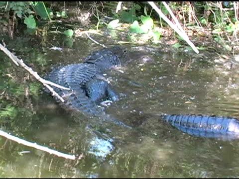 Pair of Alligators Mating video