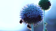 Pair of bees pollinating a blue globe-thistle video