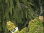 Pair Of Blue Tits (Cyanistes caeruleus) video
