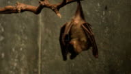 Pair of Egyptian Fruit Bats, Rousettus aegyptiacus video