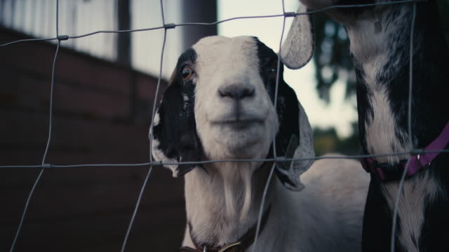 A pair of goats behind a fence on a farm video