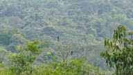 Pair of Keel-Billed Toucan (Ramphastos Sulfuratus) perched with wide jungle in background video