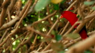 Pair of red parrots on tree branches video